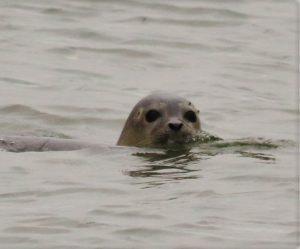 Sylter Seehund