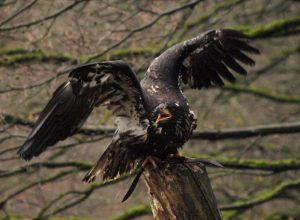 "Adler ""Artus"" Wildpark Schwarze Berge"